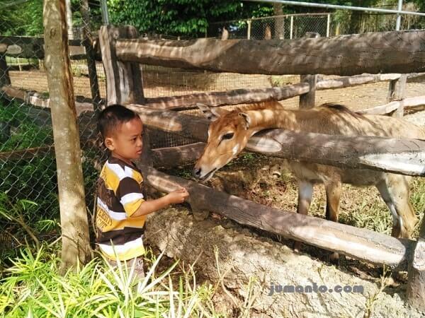 memberi makan rusa di taman satwa lembah hijau
