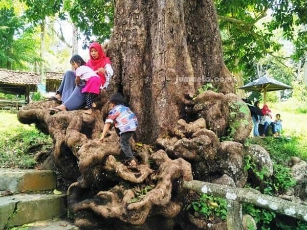 pohon cinta way lalaan