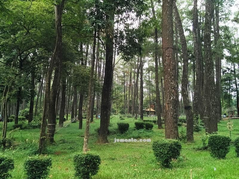gambar rindangnya hutan pinus punti kayu palembang